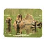 Camellos Yum Iman