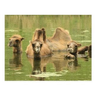 Camellos Yum Tarjetas Postales