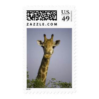 (camelopardalis del giraffa), mirando la cámara, estampillas