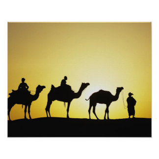Camels and camel driver silhouetted at sunset, 2 poster