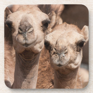 Camels at the Camel market in Al Ain near Dubai Beverage Coaster