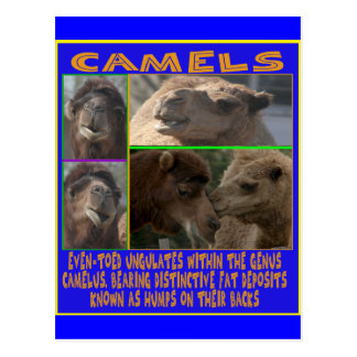 CAMELS - even-toed ungulates Postcard