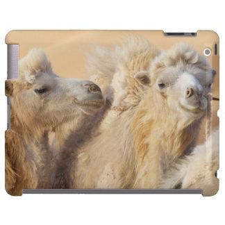 Camels in a desert convoy