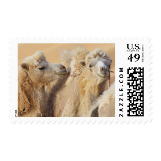Camels in a desert convoy postage