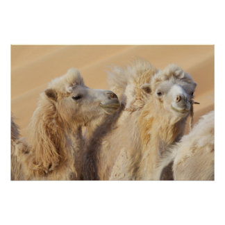 Camels in a desert convoy poster