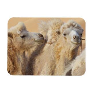 Camels in a desert convoy rectangular photo magnet