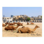 Camels in Doha Postcard