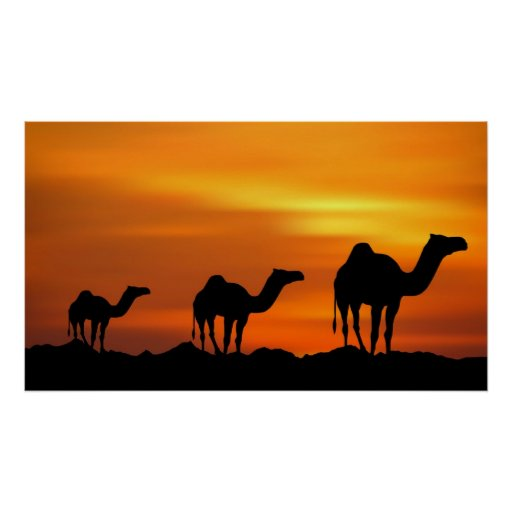 Camels in Sunset Poster