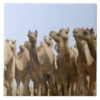 Camels in the desert, Pushkar, Rajasthan, India Large Square Tile