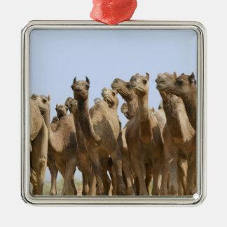 Camels in the desert, Pushkar, Rajasthan, India Square Metal Christmas Ornament