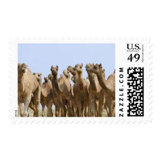 Camels in the desert, Pushkar, Rajasthan, India Postage