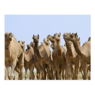 Camels in the desert, Pushkar, Rajasthan, India Postcard