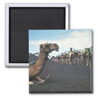 Camels, Lanzarote Fridge Magnet