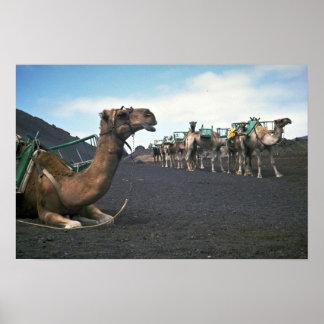 Camels, Lanzarote Print