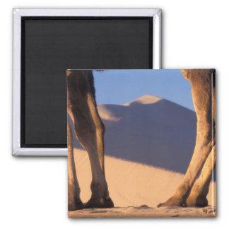 Camel's legs with sand dunes, Dunhuang, Gansu Fridge Magnets