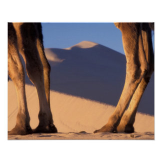 Camel's legs with sand dunes, Dunhuang, Gansu Posters