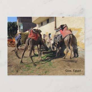 Camels Postcard postcard
