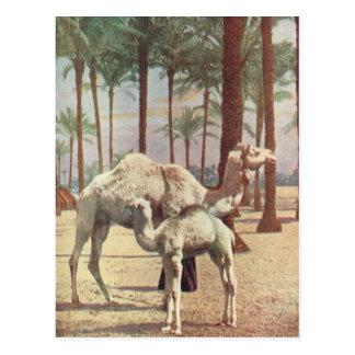 Camels Postcard
