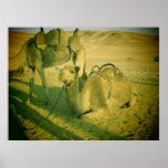Camels Print