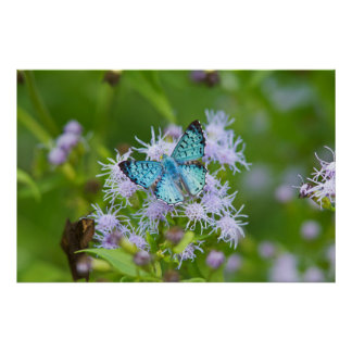 Cameron County, Texas. Blue Metalmark Poster