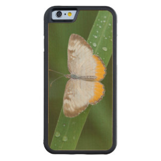 Cameron County, Texas. Common Mestra Carved® Maple iPhone 6 Bumper