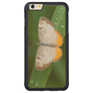 Cameron County, Texas. Common Mestra Carved® Maple iPhone 6 Plus Bumper