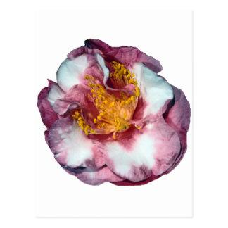 Camillia Pink Postcard