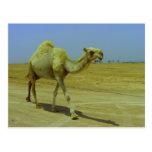 Caminando el largo camino - camello en la isla de  tarjeta postal