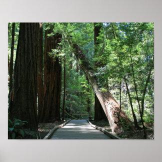 """Caminando entre Giants"", maderas de Muir Poster"