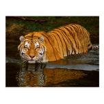 Camisetas hermosas de la foto del tigre, regalos - postal