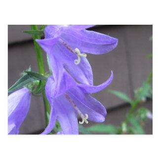 Campanula Garden Flower Post Cards