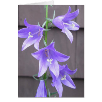 Campanula Garden Plant Flower Blue Card