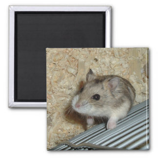 Campbells Hamster 2 Inch Square Magnet
