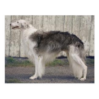 Campeón Windhound de seda Postal