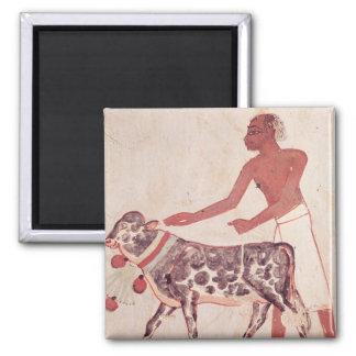 Campesino llevando una vaca a sacrificar imán cuadrado