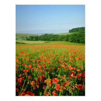 Campo agrícola anaranjado de la amapola, Falmer Postales