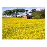 campo amarillo de la rabina amarilla en North York Tarjeta Postal