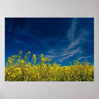 Campo amarillo de la violación con el cielo azul posters