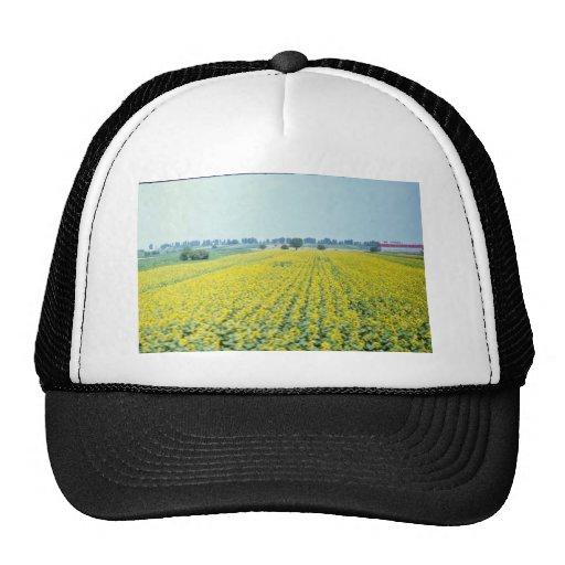 campo amarillo del girasol en las flores del este  gorra