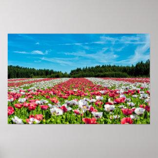 Campo colorido hermoso de las flores de la amapola póster