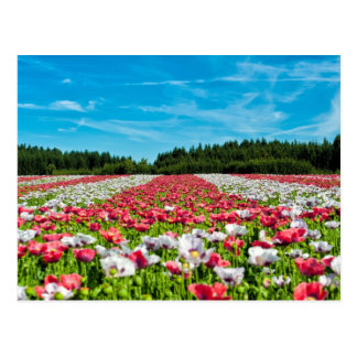 Campo colorido hermoso de las flores de la amapola postales