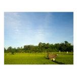 Campo de arroz de arroz en Bali Postal