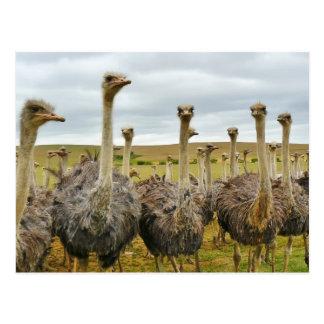 Campo de avestruces postal