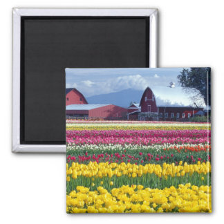Campo de exhibición del tulipán imán cuadrado
