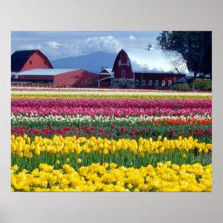 Campo de exhibición del tulipán posters