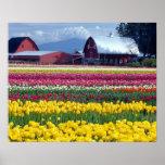 Campo de exhibición del tulipán póster