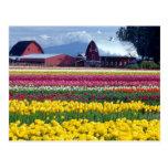 Campo de exhibición del tulipán tarjeta postal