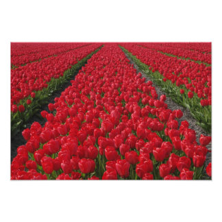 Campo de flor de tulipanes, Países Bajos, Holanda Fotografía
