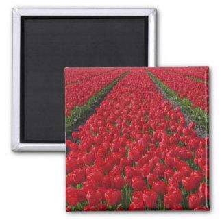 Campo de flor de tulipanes, Países Bajos, Holanda Imán Cuadrado