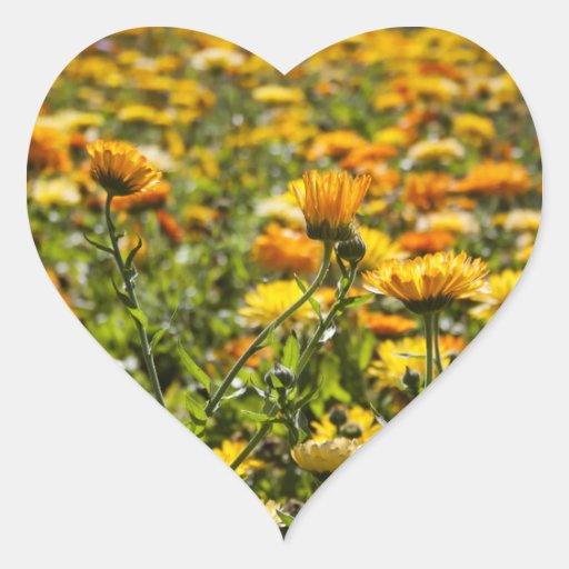 Campo de flor del calendula de la maravilla calcomanías corazones
